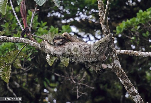 Brown-throated Three-toed Sloth (Bradypus variegatus) adult climbing branch