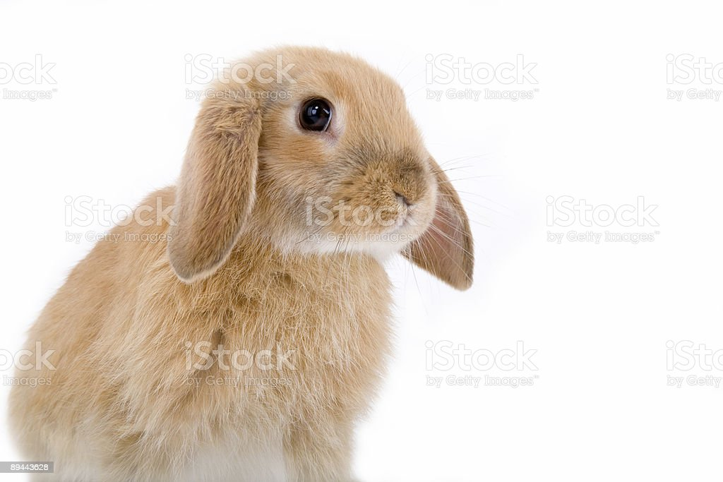 brown-white bunny on the left side  royalty-free stock photo