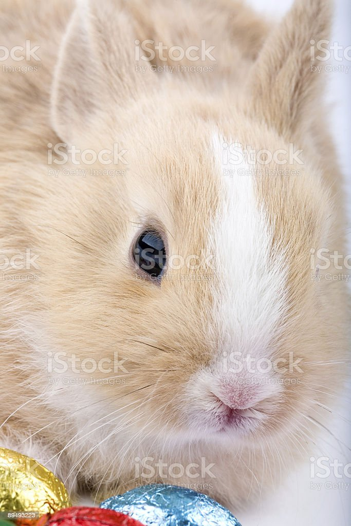 brown-white easter bunny with chocolate eggs royalty-free stock photo