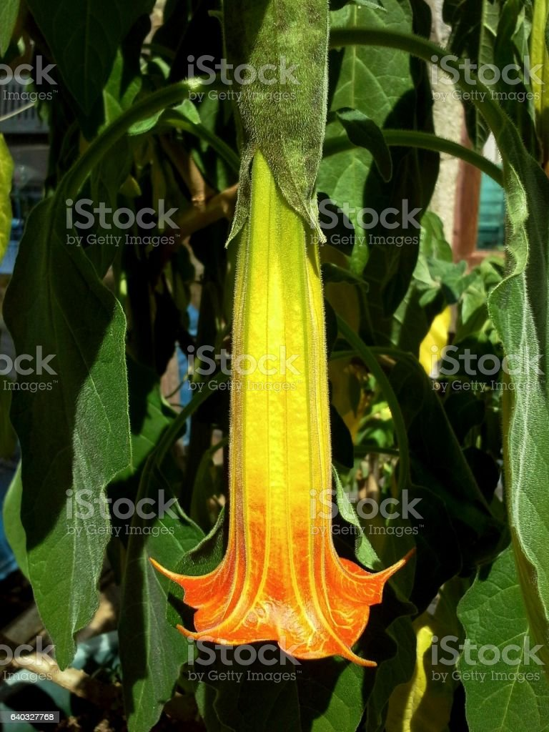 Brugmansia Sanguinea / Angel's Trumpet stock photo