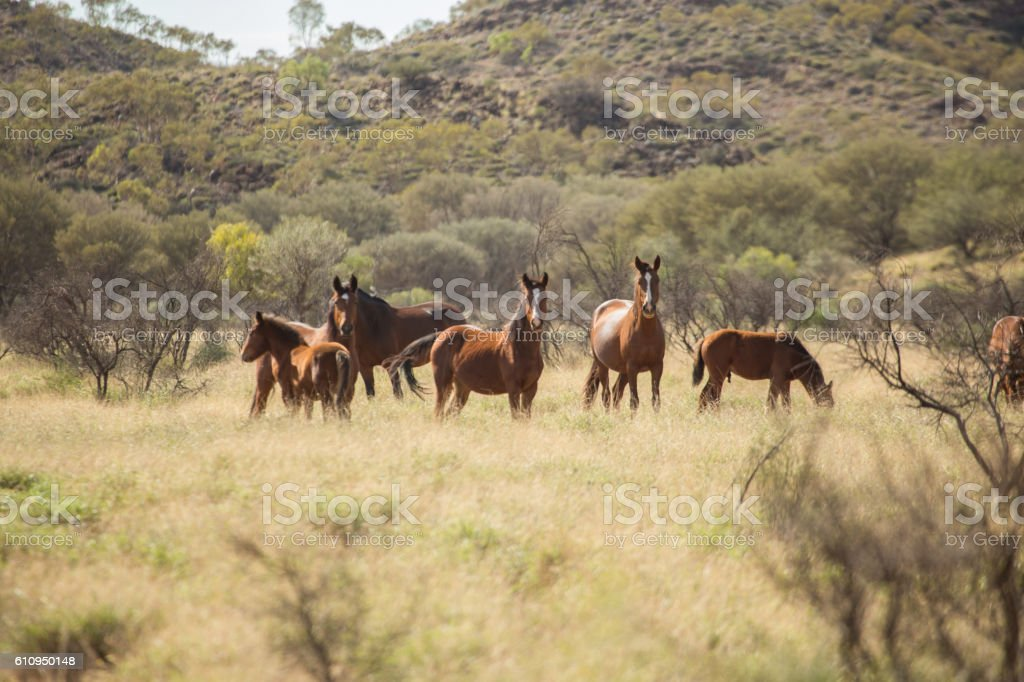 Brumbies - Australian wild horses stock photo