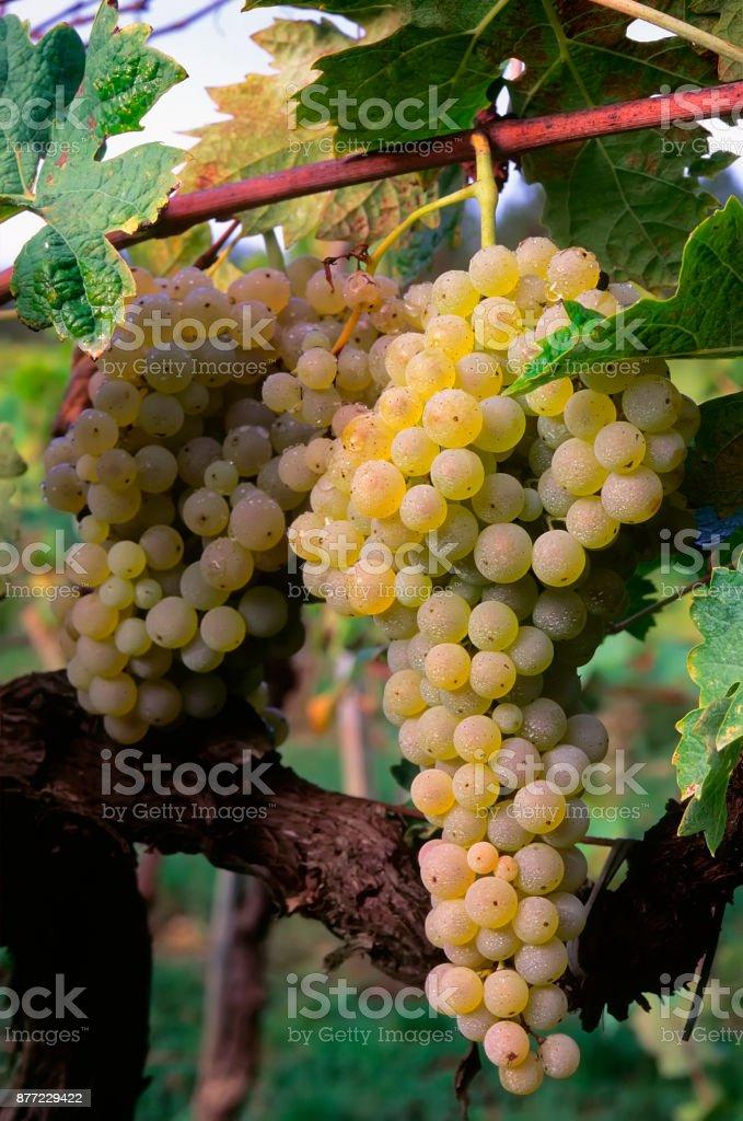 Brunch of trebbiano grapes on the vine (Vitis vinifera), stock photo