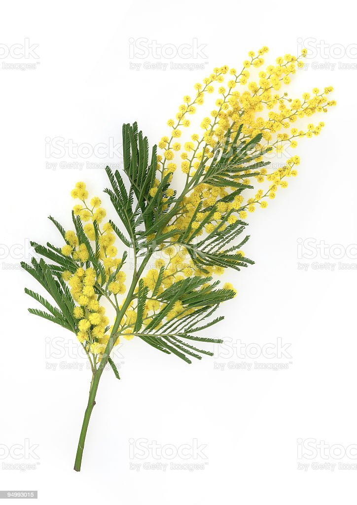 Brunch of yellow mimosa flower on white background royalty-free stock photo