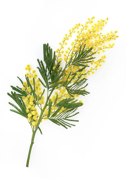 Brunch of yellow mimosa flower on white background stock photo