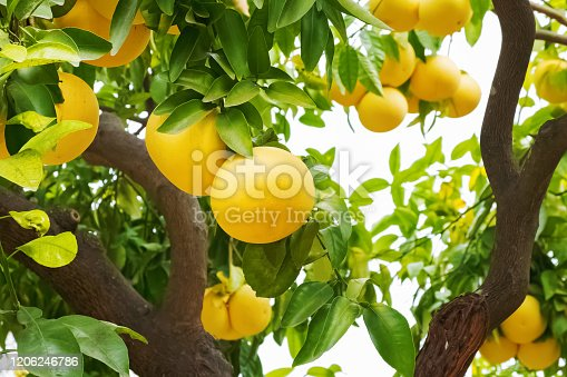 Brunch with ripe grapefruits on the tree close-up
