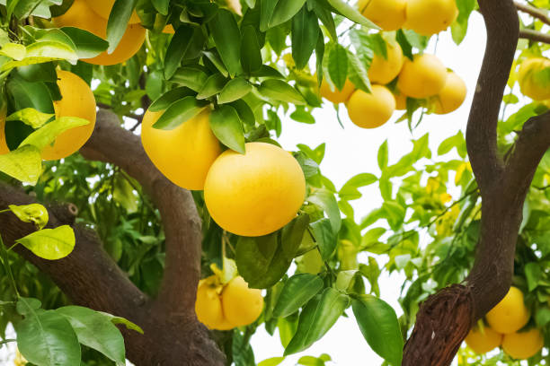 Brunch with ripe grapefruits on the tree stock photo