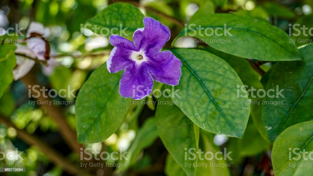 Brunfelsia Latifolia flower closeup 1. - Royalty-free Beauty Stock Photo