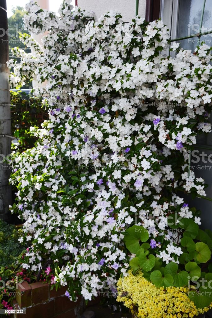 Brunfelsia latifolia / Yesterday-Today-and-Tomorrow - Royalty-free Beauty Stock Photo