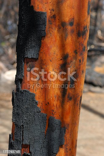 A burnt tree trunk, showing charred sections and contrasting areas where the bark is exposed but not charred.