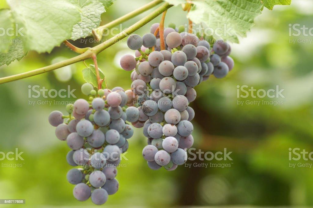 brush ripe grapes hanging on the vine stock photo