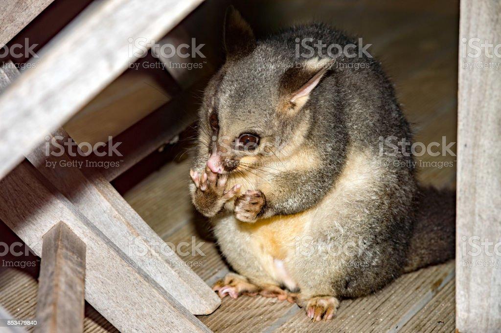 brush tailed possum raccoon in Kangaroo Island stock photo
