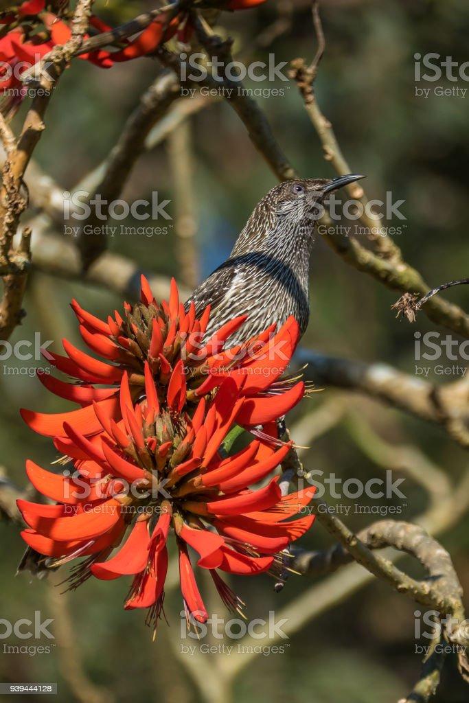 Brush Wattle Bird feeding on Coral Tree Flowers New South Wales, Australia stock photo