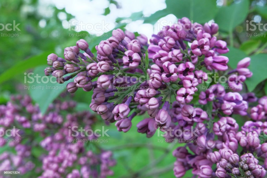 Brushes of blossoming lilacs - Royalty-free Backgrounds Stock Photo