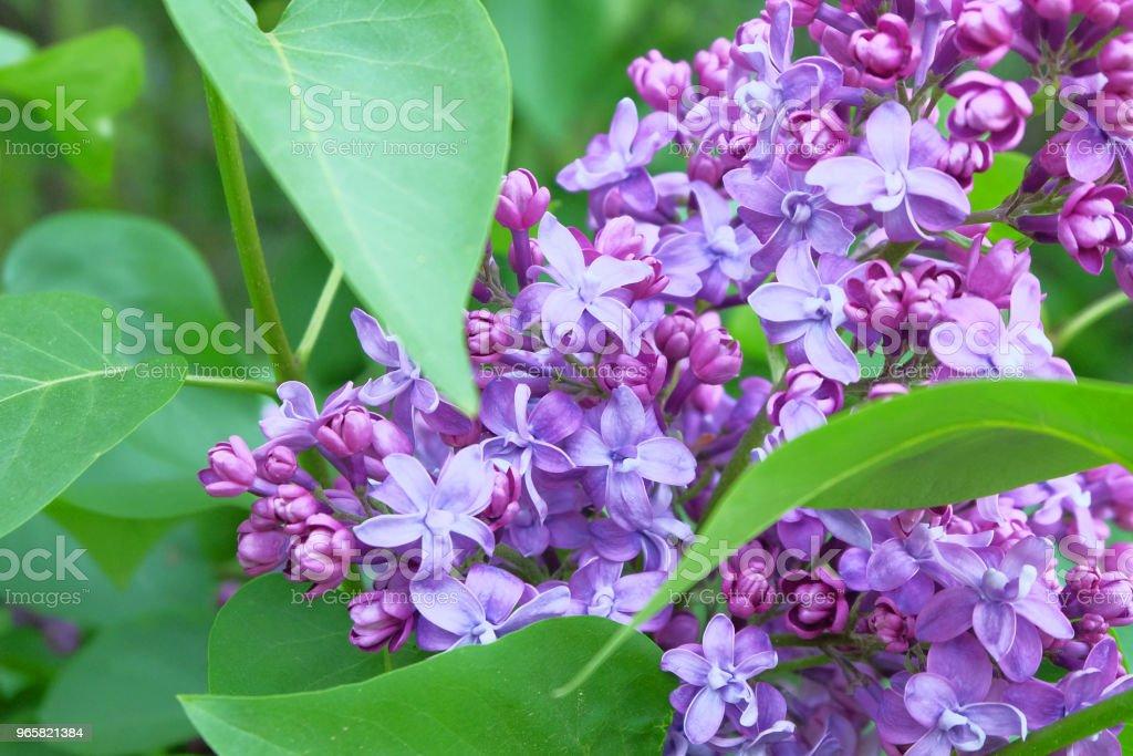 Borstels van bloeiende seringen - Royalty-free Achtergrond - Thema Stockfoto