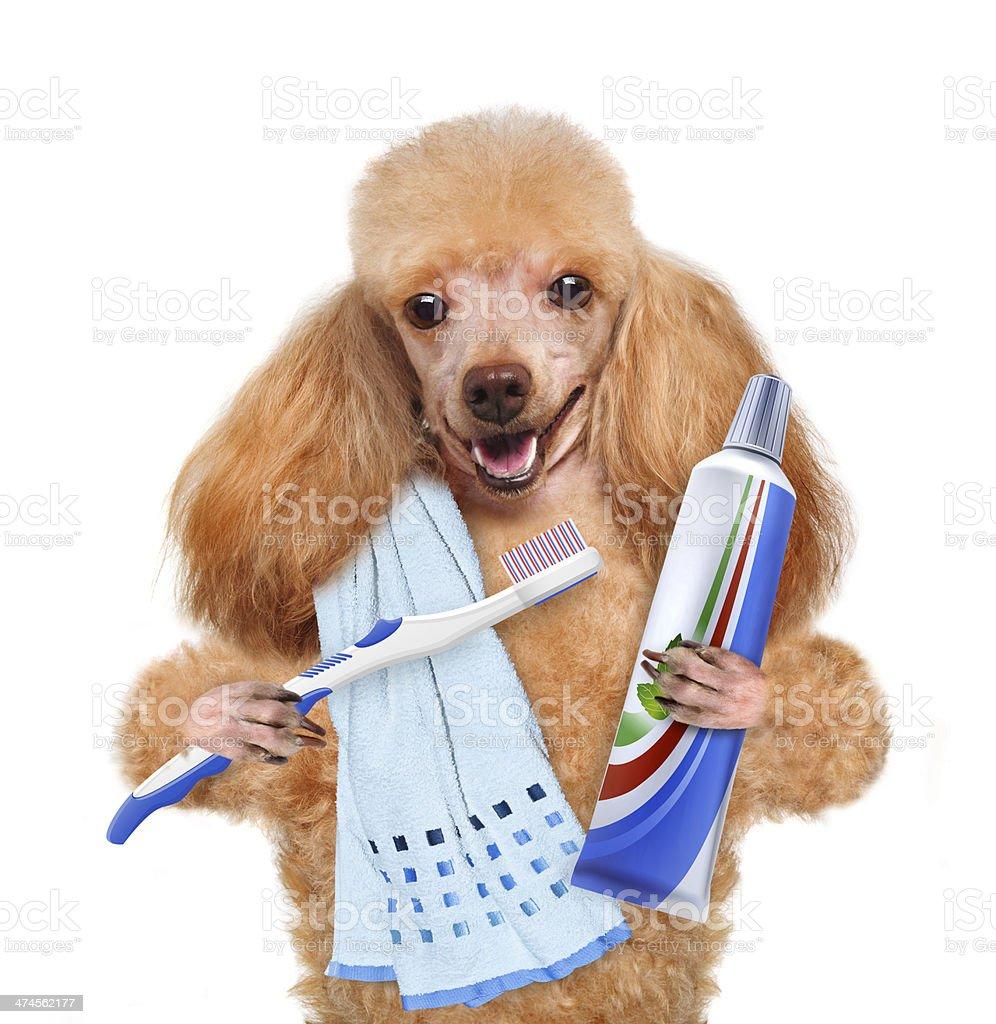Brushing teeth dog . stock photo