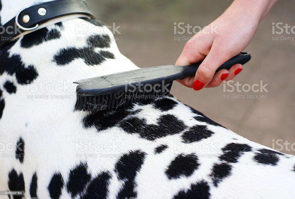 Brushing the dog. stock photo