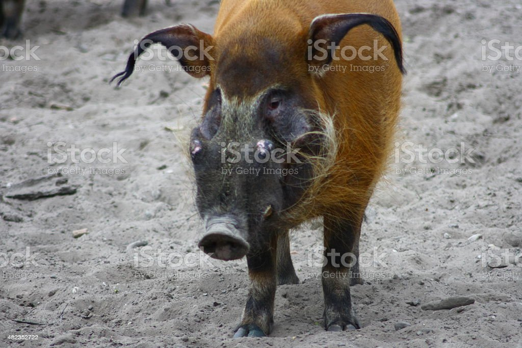 Brushporkear  (Potamochoerus porcus) stock photo