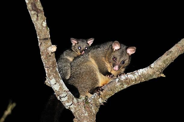 Brush-tail Possum stock photo