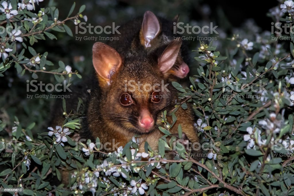 Brushtail possum con bebé - foto de stock