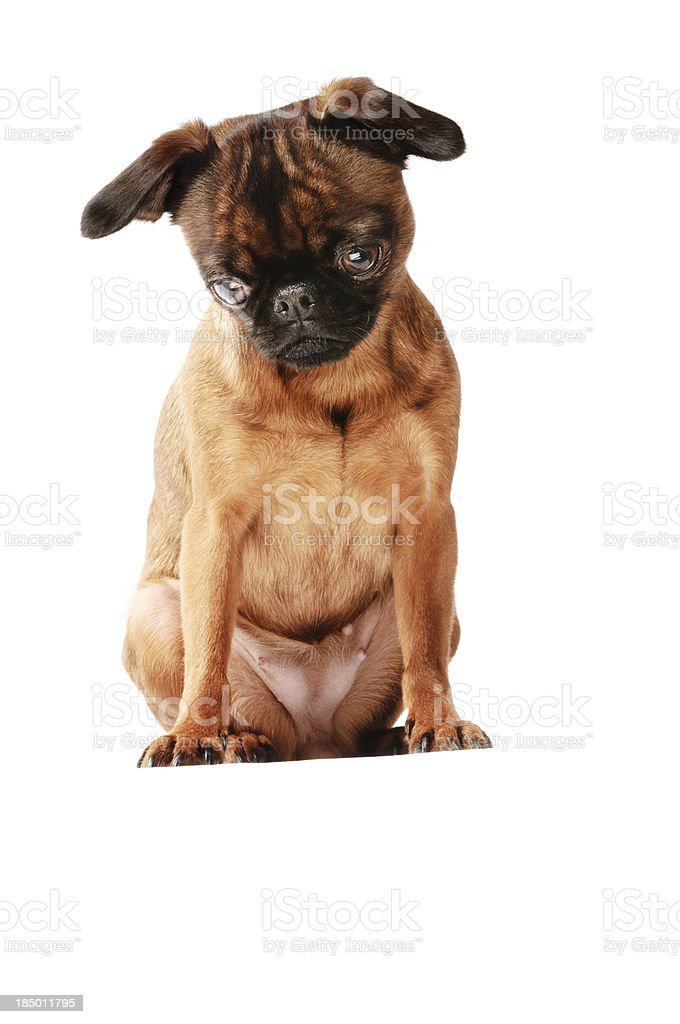 Brussels Griffon or Terrier stock photo