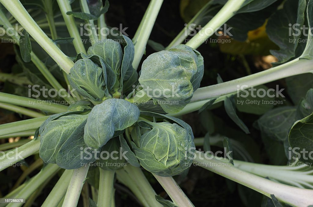 Brussels Sprouts Close-up royalty-free stock photo