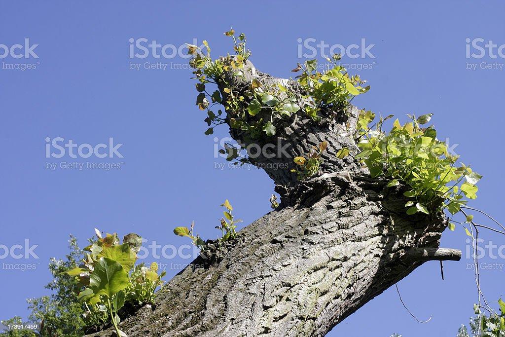 Brutalised white poplar tree springs into life royalty-free stock photo