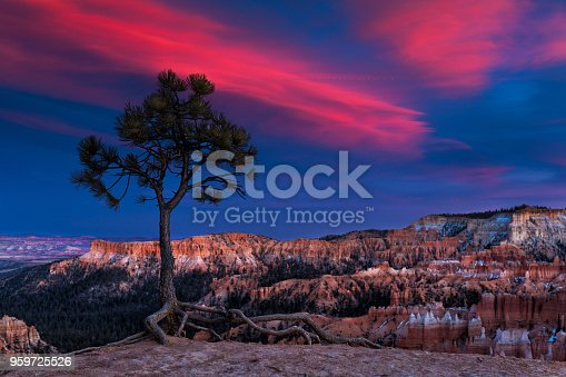 Ponderosa pine tree at sunset in Bryce Canyon National Park