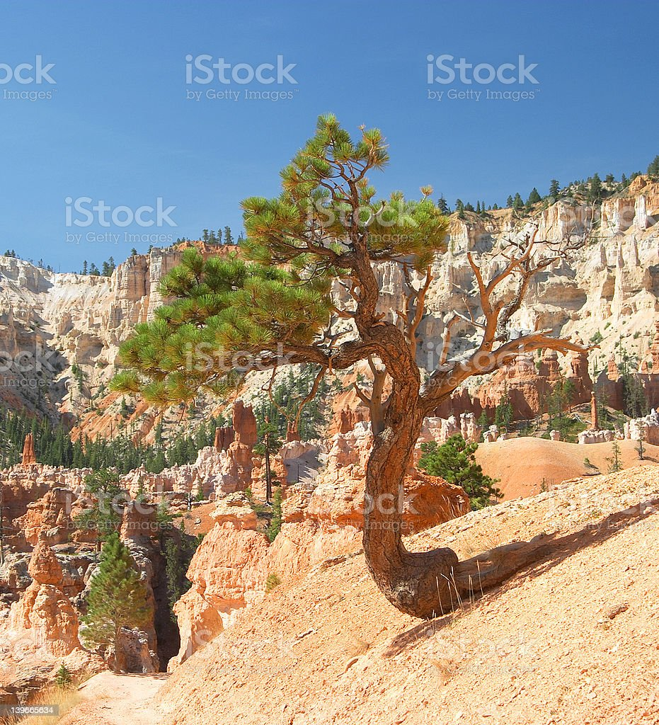 Bryce Canyon National Park Pinyon Pine Tree royalty-free stock photo