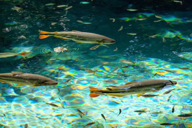 Brycon Hilarii, Piraputanga fishes in cristal clear water of the Salobra river, Bom Jardim Nobres, Mato Grosso, Brazil stock photo