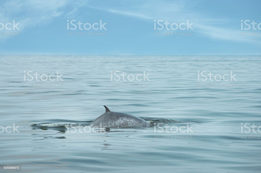 Bryde whale swimming stock photo