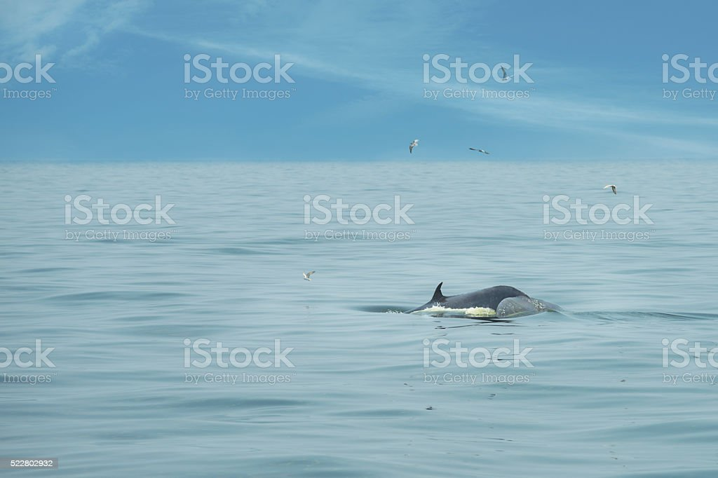 Bryde whale tail stock photo