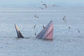 Bryde's whale, Eden's whale feeding small fish, Whale in gulf of Thailand.