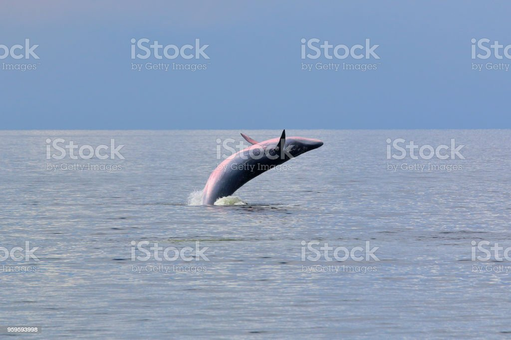 Ballena de Bryde - foto de stock