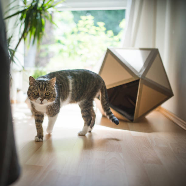 Bsh cat picture id1125392416?b=1&k=6&m=1125392416&s=612x612&w=0&h=ggudbvkiirlgj2dducit bhxtuwzfrviwbxdt0od5m0=
