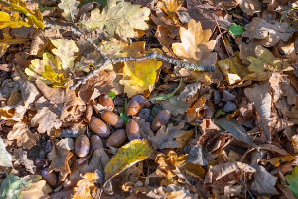 Bsome rown acorns and autumn leaves lie on the forest floor picture id1281699478?b=1&k=6&m=1281699478&s=612x612&w=0&h=ljrsnx ataztd3zeeacftfpludc9uurg9pnipdpdax8=
