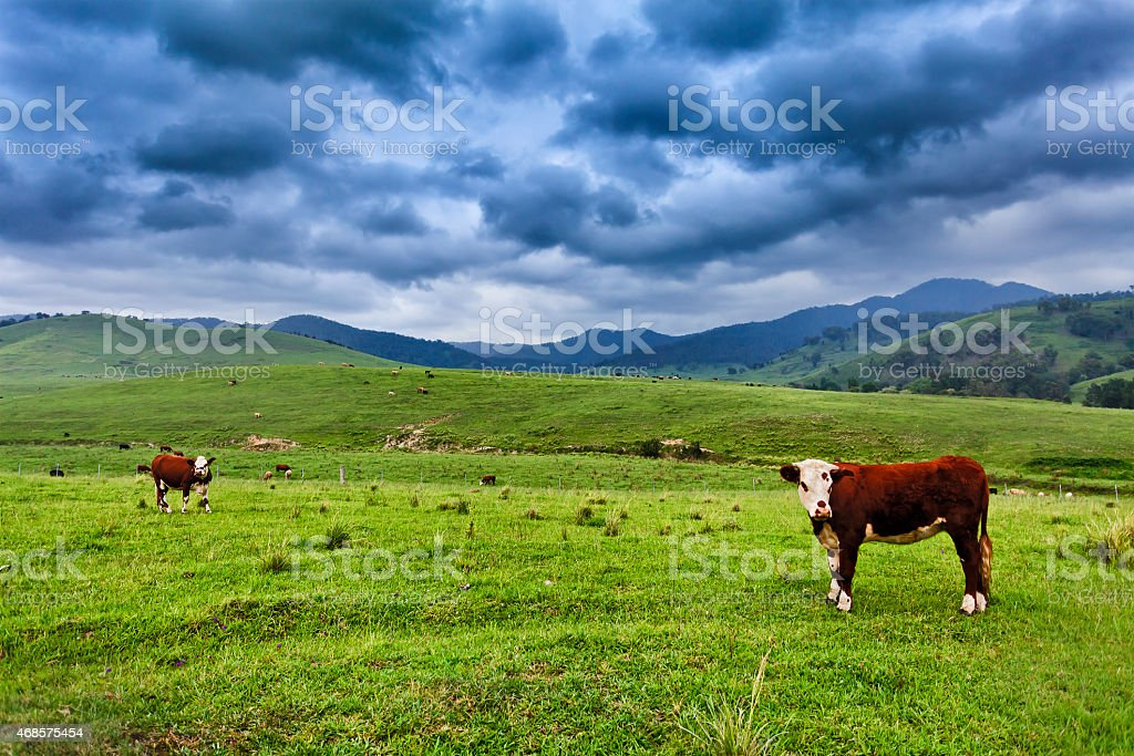 BTops 2 steers stock photo