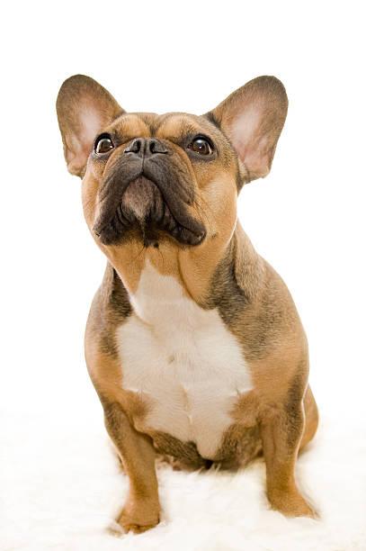 Buba - French Bulldog stock photo