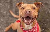 Bubba is a brown pit bull or pit bull terrier mix looking up at the camera with a happy smile.