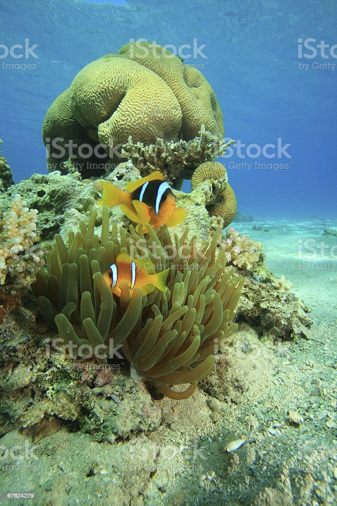 Bubble Anemone and Brain Coral royalty-free stock photo