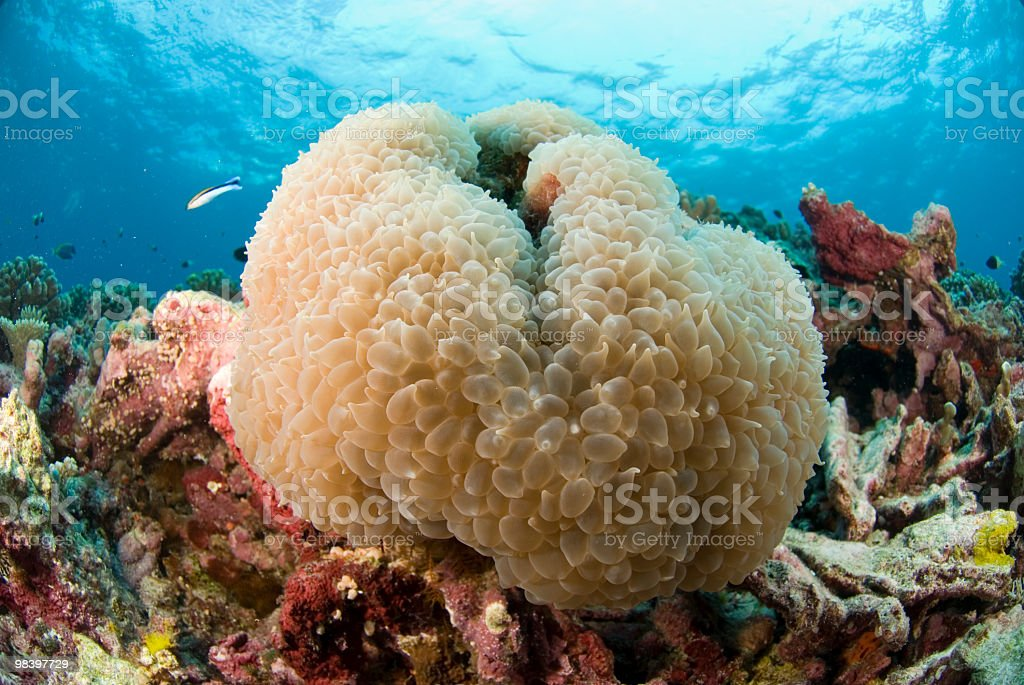 Bubble Coral royalty-free stock photo