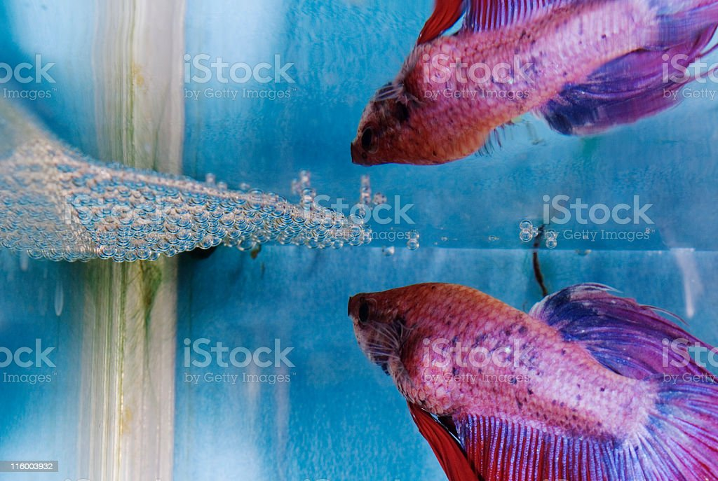 Bubble nest builder royalty-free stock photo