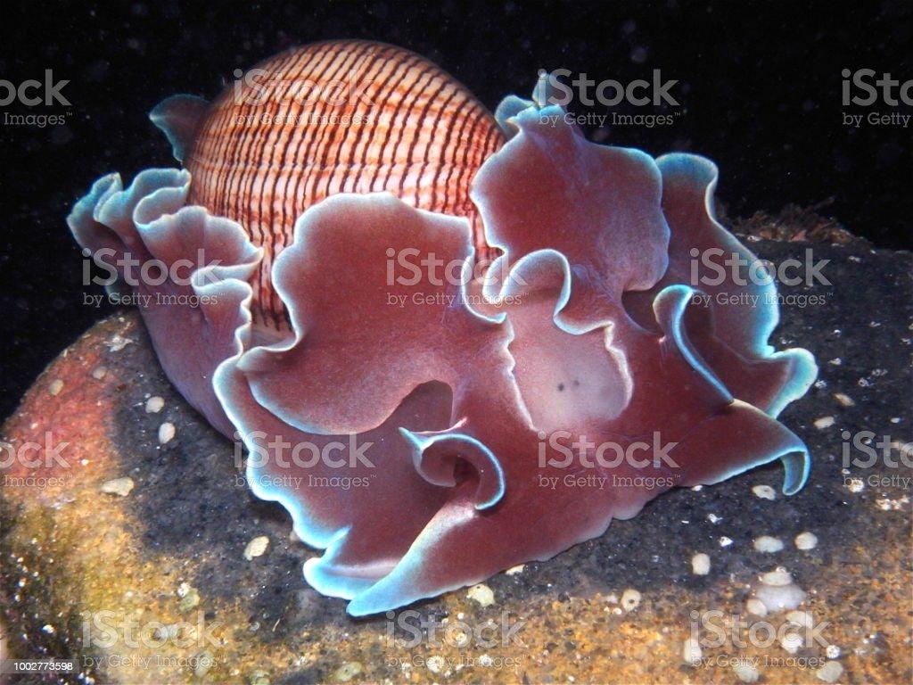 Bubble Snail Rose Petalhydatina Physis In Sydney Australia Fotografie Stock E Altre Immagini Di Acqua Istock
