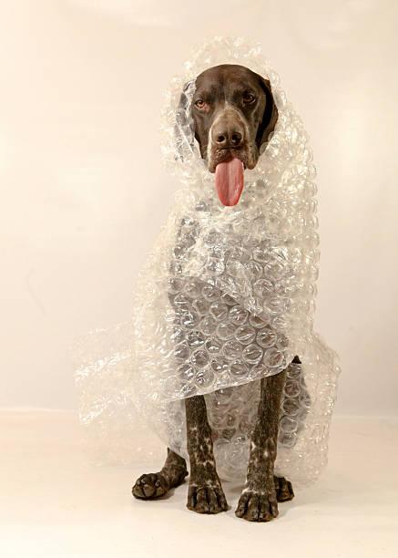 Bubble Wrapped Dog stock photo