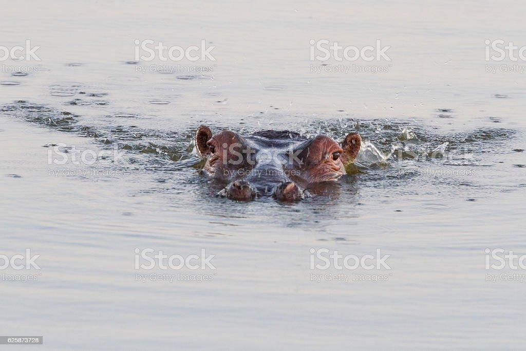 Bubblin' Hippo stock photo