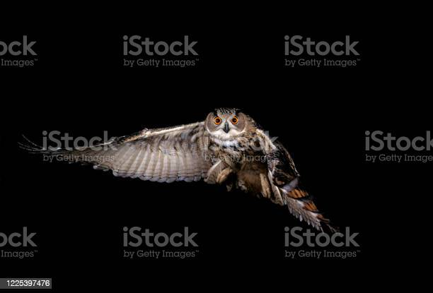 Bubo bubo adult in flight normandy in france picture id1225397476?b=1&k=6&m=1225397476&s=612x612&h=6olgjty2ioeebwlirdpauvzqnvzzcs2ci2umzinjz00=