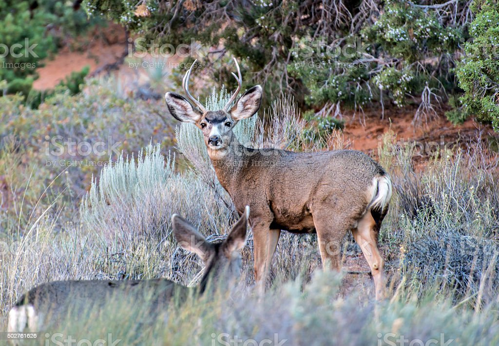 Buck and Doe stock photo