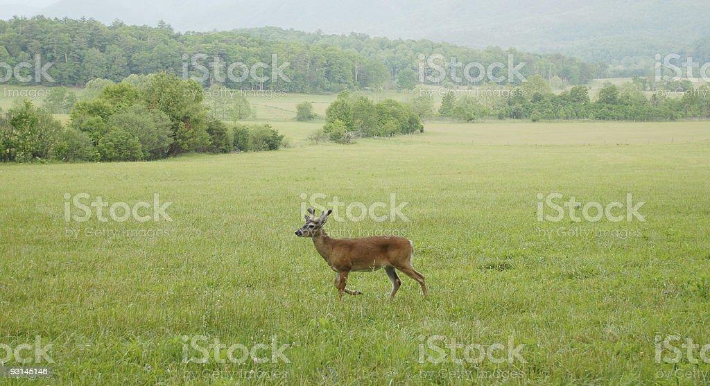 Buck deer at Cades Cove stock photo