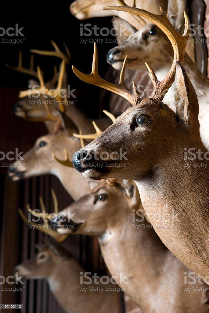 Buck Deer Heads royalty-free stock photo