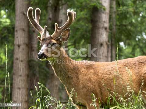 Buck Deer standing in Forest with tree background. Pacific Northwest, USA. Velvet antlers.