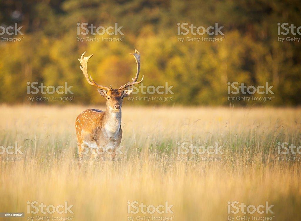 Buck deer in long grass – Foto